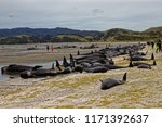 Stranded Pilot Whales Beached...