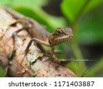 chameleon in the nature | Shutterstock . vector #1171403887
