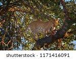african leopard  panthera... | Shutterstock . vector #1171416091