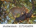 african leopard  panthera... | Shutterstock . vector #1171416094