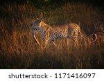 african leopard  panthera... | Shutterstock . vector #1171416097