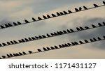 many starlings sitting on a... | Shutterstock . vector #1171431127