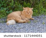 stray cat resting at the street.... | Shutterstock . vector #1171444051