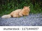 stray cat resting at the street.... | Shutterstock . vector #1171444057