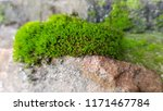 Thick Green Moss On Grey Rosy...
