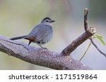the gray catbird  dumetella... | Shutterstock . vector #1171519864