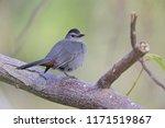 the gray catbird  dumetella... | Shutterstock . vector #1171519867