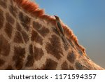 close up red billed oxpecker ... | Shutterstock . vector #1171594357