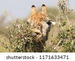 giraffe  giraffa camelopardalis ... | Shutterstock . vector #1171633471