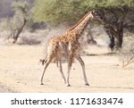 single young giraffe  giraffa... | Shutterstock . vector #1171633474