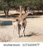 two young giraffes  giraffa... | Shutterstock . vector #1171633477