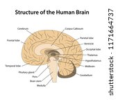 structure of the human brain... | Shutterstock .eps vector #1171664737