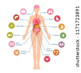 diagram of the major human body ... | Shutterstock .eps vector #1171723891