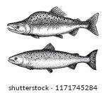 ink sketch of pink  humpback ... | Shutterstock .eps vector #1171745284