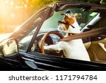 Jack Russell Dog In A Car Close ...