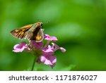 Fiery Skipper Butterfly With...