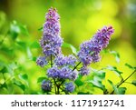 spring lilac flowers. lilac... | Shutterstock . vector #1171912741