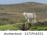 lone sheep stands on a rocky... | Shutterstock . vector #1171916521