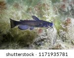 Black bullhead Catfish (Ameiurus melas) underwater photography. Freshwater fish in clean water and nature habitat. Natural light. Lake and river habitat. Wild animal.