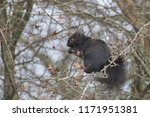 Black Squirrel Eating In Bare...