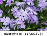 emerald blue creeping phlox  ... | Shutterstock . vector #1172015284