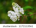 White Lilac Branch In The...