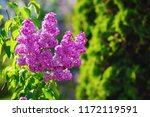 blooming purple lilac. branch... | Shutterstock . vector #1172119591