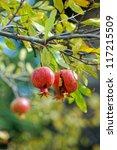 closeup of fresh pomegranate... | Shutterstock . vector #117215509