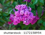 purple lilac blooms. branch of... | Shutterstock . vector #1172158954