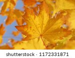 close up of dry yellow leaf on... | Shutterstock . vector #1172331871