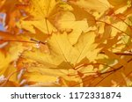 yellow leaves on branches of... | Shutterstock . vector #1172331874