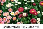 blooming pink flowers in garden   Shutterstock . vector #1172365741