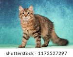 Stock photo siberian beautiful kitten 1172527297