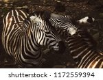 two zebras nuzzling each other | Shutterstock . vector #1172559394