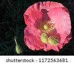Pink Poppy On Black  Close Up...