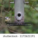 great tit songbird       ... | Shutterstock . vector #1172621191