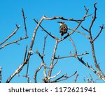 galapagos mockingbird perched... | Shutterstock . vector #1172621941