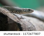 Common Indian Rat Snake  Ptyas...