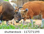 Banteng, red bull in rainforest of Thailand.