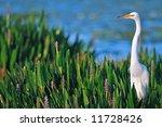 Great White Egret In Dawn...