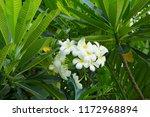 white plumeria flower on the...   Shutterstock . vector #1172968894