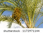 Ripening Fruits Of Date Palm ...