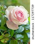 Stock photo close up of pink rose in a garden 117297739