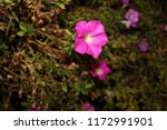wayside flowers.live in tha pae ...   Shutterstock . vector #1172991901