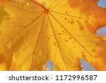 close up of yellow maple tree... | Shutterstock . vector #1172996587