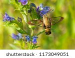 snowberry clearwing moth... | Shutterstock . vector #1173049051