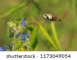 snowberry clearwing moth... | Shutterstock . vector #1173049054