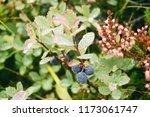 fresh blueberry after rain | Shutterstock . vector #1173061747
