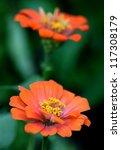 zenia flower - stock photo