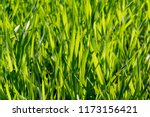 the grass is green  the lawn is ... | Shutterstock . vector #1173156421